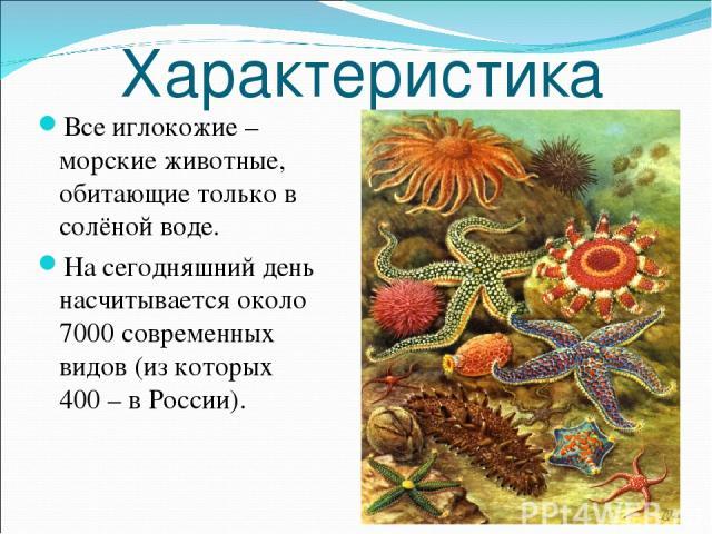 Характеристика Все иглокожие – морские животные, обитающие только в солёной воде. На сегодняшний день насчитывается около 7000 современных видов (из которых 400 – в России).