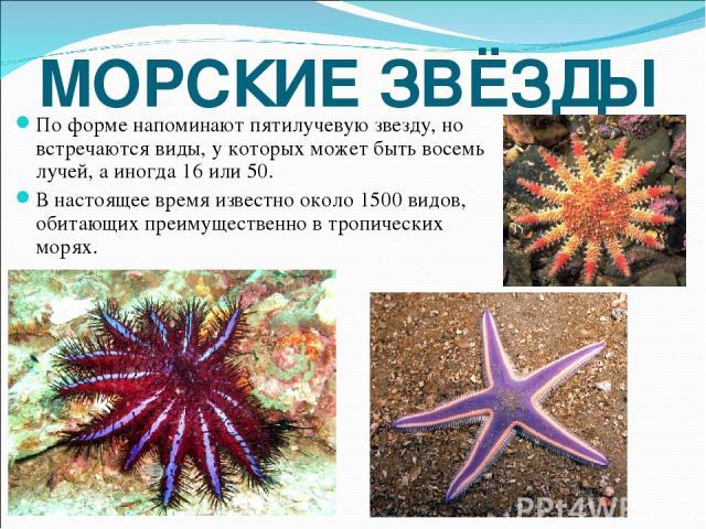 МОРСКИЕ ЗВЁЗДЫ По форме напоминают пятилучевую звезду, но встречаются виды, у которых может быть восемь лучей, а иногда 16 или 50. В настоящее время известно около 1500 видов, обитающих преимущественно в тропических морях.