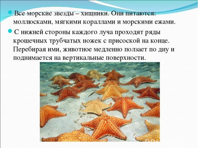 Все морские звезды – хищники. Они питаются: моллюсками, мягкими кораллами и морскими ежами. С нижней стороны каждого луча проходят ряды крошечных трубчатых ножек с присоской на конце. Перебирая ими, животное медленно ползает по дну и поднимается на …