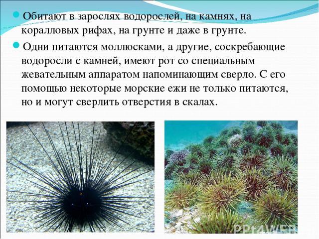 Обитают в зарослях водорослей, на камнях, на коралловых рифах, на грунте и даже в грунте. Одни питаются моллюсками, а другие, соскребающие водоросли с камней, имеют рот со специальным жевательным аппаратом напоминающим сверло. С его помощью некоторы…