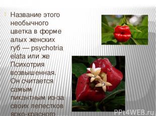 Название этого необычного цветка в форме алых женских губ — psychotria elata или