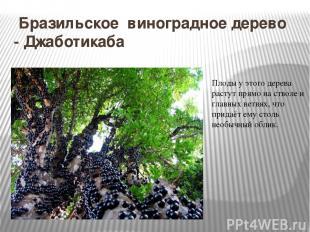 Бразильское виноградное дерево - Джаботикаба Плоды у этого дерева растут прямо н