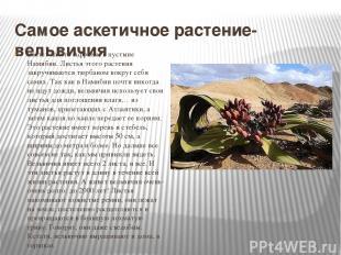 Самое аскетичное растение- вельвичия Растет на юге Африки, в пустыне Намибии. Ли
