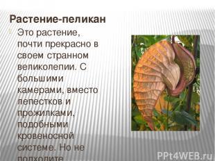 Растение-пеликан Это растение, почти прекрасно в своем странном великолепии. С б