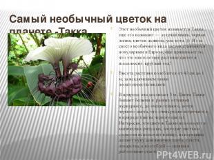 Самый необычный цветок на планете -Такка Этот необычный цветок называется Такка