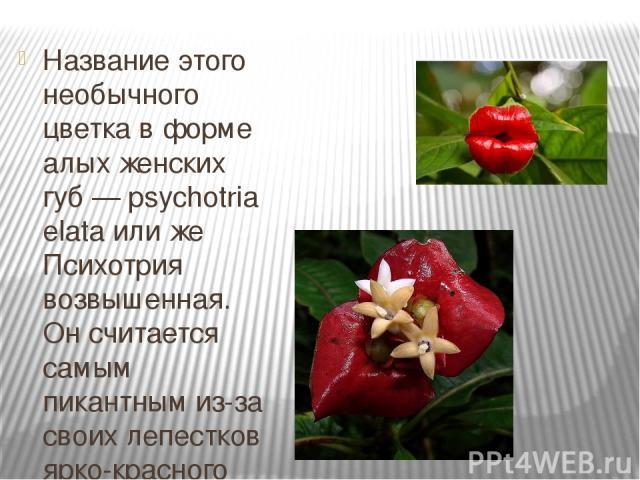 Название этого необычного цветка в форме алых женских губ — psychotria elata или же Психотрия возвышенная. Он считается самым пикантным из-за своих лепестков ярко-красного цвета, напоминающих по форме женские пухлые губы. Этот соблазнительный цветок…