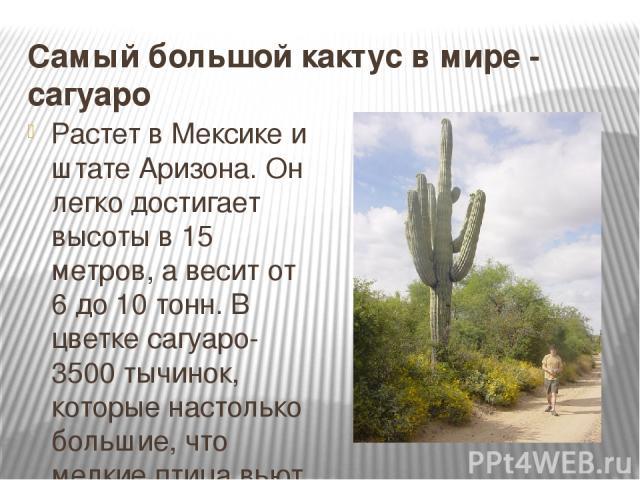 Самый большой кактус в мире - сагуаро Растет в Мексике и штате Аризона. Он легко достигает высоты в 15 метров, а весит от 6 до 10 тонн. В цветке сагуаро- 3500 тычинок, которые настолько большие, что мелкие птица вьют иногда там гнезда.