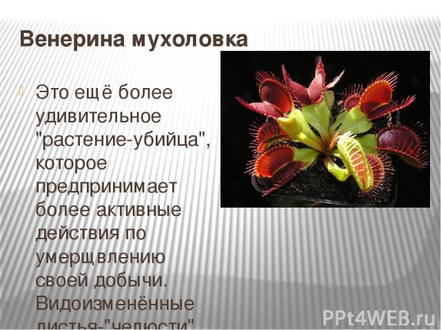 Венерина мухоловка Это ещё более удивительное
