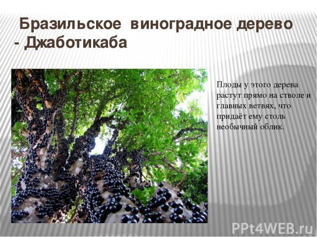 Бразильское виноградное дерево - Джаботикаба Плоды у этого дерева растут прямо на стволе и главных ветвях, что придаёт ему столь необычный облик.