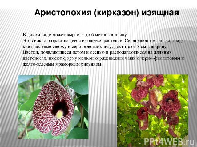 Аристолохия (кирказон) изящная В диком виде может вырасти до 6 метров в длину. Это сильно разрастающееся вьющееся растение. Сердцевидные листья, глад кие и зеленые сверху и серо-зеленые снизу, достигают 8 см в ширину. Цветки, появляющиеся летом и ос…