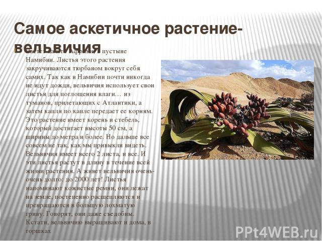 Самое аскетичное растение- вельвичия Растет на юге Африки, в пустыне Намибии. Листья этого растения закручиваются тюрбаном вокруг себя самих. Так как в Намибии почти никогда не идут дожди, вельвичия использует свои листья для поглощения влаги… из ту…