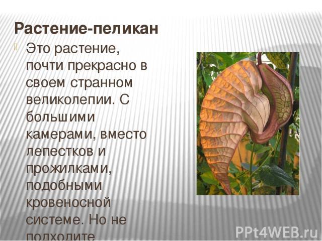 Растение-пеликан Это растение, почти прекрасно в своем странном великолепии. С большими камерами, вместо лепестков и прожилками, подобными кровеносной системе. Но не подходите слишком близко, а то запах мертвых мышей не сможет выветриться еще очень …