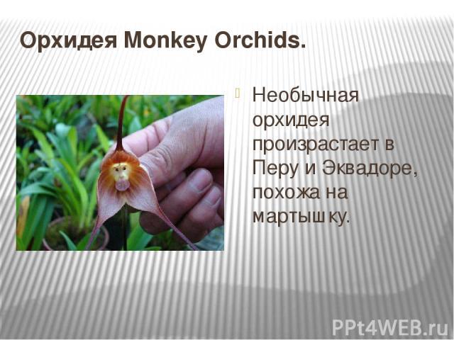 Орхидея Monkey Orchids. Необычная орхидея произрастает в Перу и Эквадоре, похожа на мартышку.