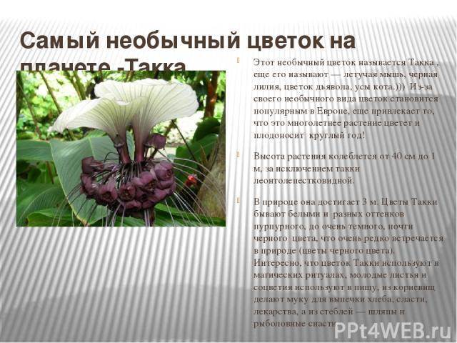 Самый необычный цветок на планете -Такка Этот необычный цветок называется Такка , еще его называют — летучая мышь, черная лилия, цветок дьявола, усы кота.))) Из-за своего необычного вида цветок становится популярным в Европе, еще привлекает то, что…