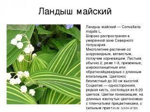 Ландыш майский Ландыш майский — Convallaria majalis L. Широко распространен в ум