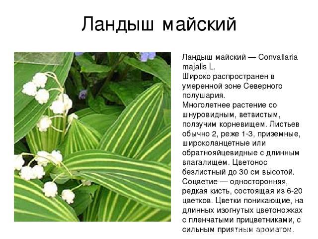 Ландыш майский Ландыш майский — Convallaria majalis L. Широко распространен в умеренной зоне Северного полушария. Многолетнее растение со шнуровидным, ветвистым, ползучим корневищем. Листьев обычно 2, реже 1-3, приземные, широколанцетные или обратно…