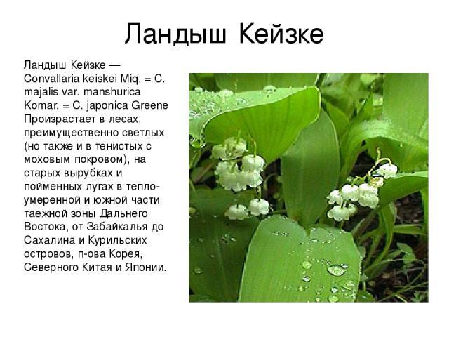 Ландыш Кейзке Ландыш Кейзке — Convallaria keiskei Miq. = С. majalis var. manshurica Komar. = C. japonica Greene Произрастает в лесах, преимущественно светлых (но также и в тениcтых с моховым покровом), на старых вырубках и пойменных лугах в тепло-ум…