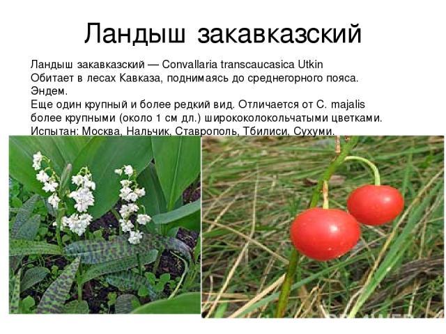 Ландыш закавказский Ландыш закавказский — Convallaria transcaucasica Utkin Обитает в лесах Кавказа, поднимаясь до среднегорного пояса. Эндем. Еще один крупный и более редкий вид. Отличается от С. majalis более крупными (около 1 см дл.) ширококолокол…