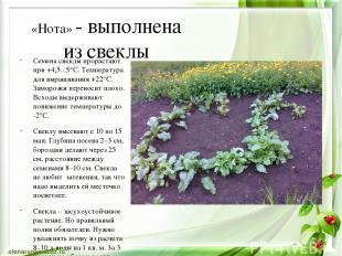 «Нота» - выполнена из свеклы Семена свеклы прорастают при +4,5...5°C. Температур