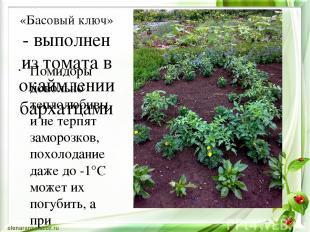 «Басовый ключ» - выполнен из томата в окаймлении бархатцами Помидоры довольно те
