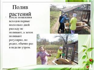 Полив растений После появления всходов первые несколько дней рассаду не поливают