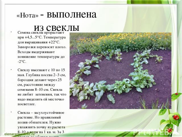 «Нота» - выполнена из свеклы Семена свеклы прорастают при +4,5...5°C. Температура для выращивания +22°C. Заморозки переносит плохо. Всходы выдерживают понижение температуры до -2°C. Свеклу высевают с 10 по 15 мая. Глубина посева 2–3 см, бороздки дел…