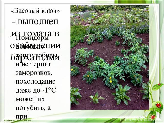 «Басовый ключ» - выполнен из томата в окаймлении бархатцами Помидоры довольно теплолюбивы и не терпят заморозков, похолодание даже до -1°C может их погубить, а при температуре ниже +15°C их развитие останавливается. Для того чтобы помидоры хорошо ро…