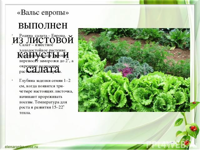 «Вальс европы» выполнен из листовой капусты и салата Родина салата – Европа. Салат – известное холодостойкое растение. Молодые всходы хорошо переносят заморозки до 2˚, а окрепшие подросшие растения до 5˚ мороза. Глубина заделки семян 1–2 см, когда п…