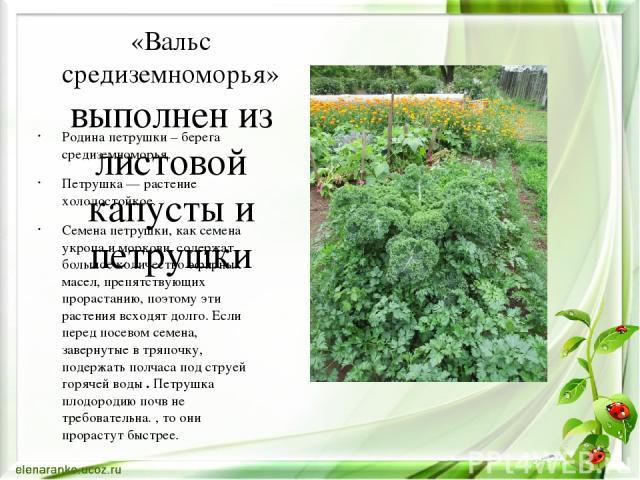 «Вальс средиземноморья» выполнен из листовой капусты и петрушки Родина петрушки – берега средиземноморья. Петрушка — растение холодостойкое. Семена петрушки, как семена укропа и моркови, содержат большое количество эфирных масел, препятствующих прор…