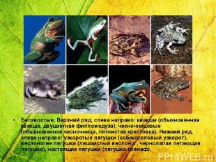Бесхвостые. Верхний ряд, слева направо: квакши (обыкновенная квакша, двуцветная