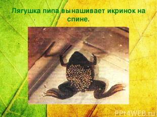 Лягушка пипа вынашивает икринок на спине.