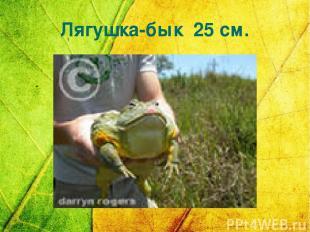 Лягушка-бык 25 см.