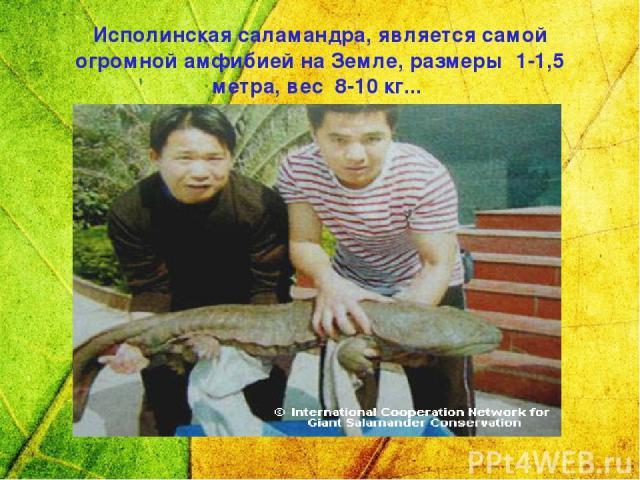 Исполинская саламандра, является самой огромной амфибией на Земле, размеры 1-1,5 метра, вес 8-10 кг...