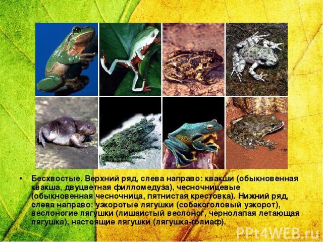 Бесхвостые. Верхний ряд, слева направо: квакши (обыкновенная квакша, двуцветная филломедуза), чесночницевые (обыкновенная чесночница, пятнистая крестовка). Нижний ряд, слева направо: узкоротые лягушки (собакоголовый узкорот), веслоногие лягушки (лиш…