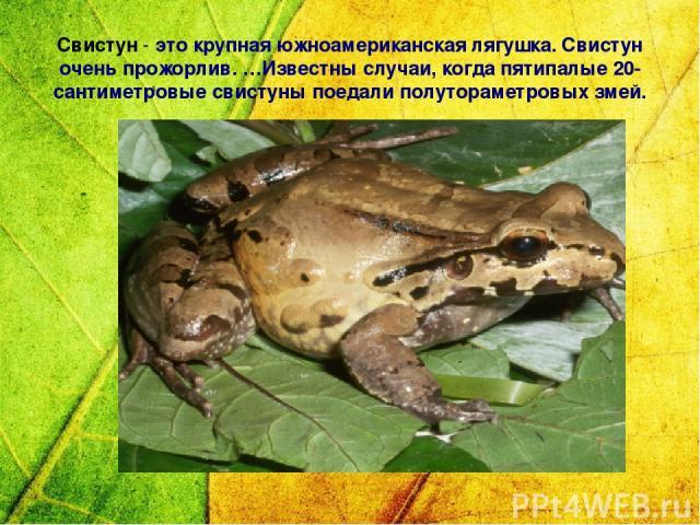 Свистун - это крупная южноамериканская лягушка. Свистун очень прожорлив. …Известны случаи, когда пятипалые 20-сантиметровые свистуны поедали полутораметровых змей.