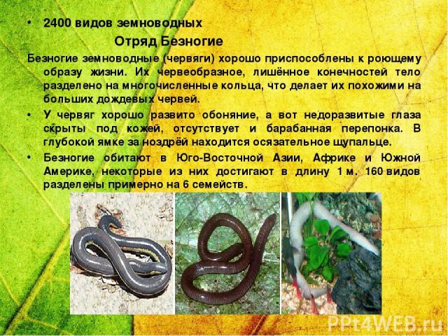 2400 видов земноводных Отряд Безногие Безногие земноводные (червяги) хорошо приспособлены к роющему образу жизни. Их червеобразное, лишённое конечностей тело разделено на многочисленные кольца, что делает их похожими на больших дождевых червей. У че…