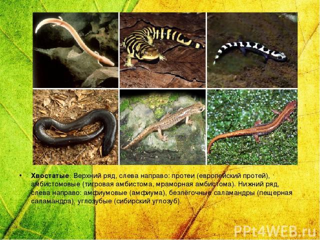 Хвостатые. Верхний ряд, слева направо: протеи (европейский протей), амбистомовые (тигровая амбистома, мраморная амбистома). Нижний ряд, слева направо: амфиумовые (амфиума), безлёгочные саламандры (пещерная саламандра), углозубые (сибирский углозуб).