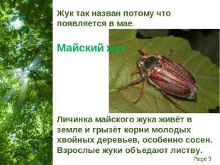 Жук так назван потому что появляется в мае. Майский жук Личинка майского жука жи