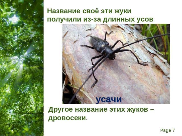 Название своё эти жуки получили из-за длинных усов Другое название этих жуков – дровосеки. усачи Free Powerpoint Templates Page *