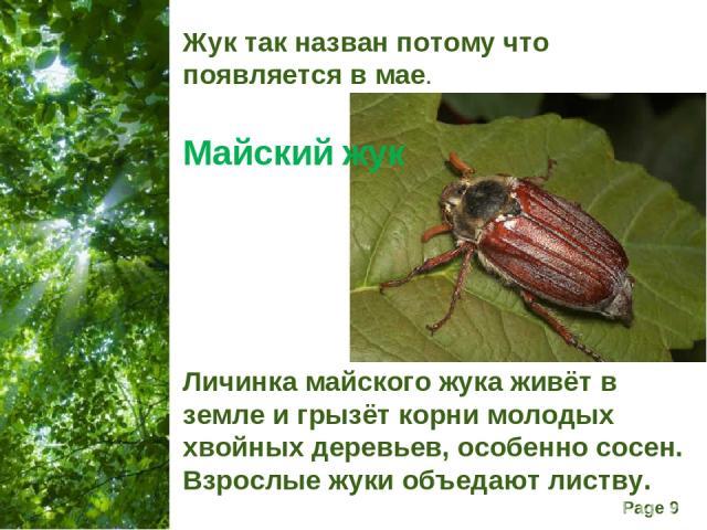 Жук так назван потому что появляется в мае. Майский жук Личинка майского жука живёт в земле и грызёт корни молодых хвойных деревьев, особенно сосен. Взрослые жуки объедают листву. Free Powerpoint Templates Page *