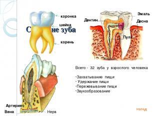 Строение зуба коронка шейка корень Дентин Эмаль Пульпа Десна Артерия Вена Нерв В