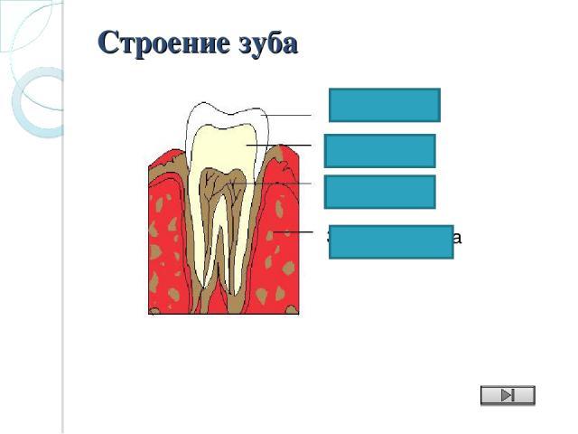 Зубная ячейка дентин пульпа Строение зуба эмаль