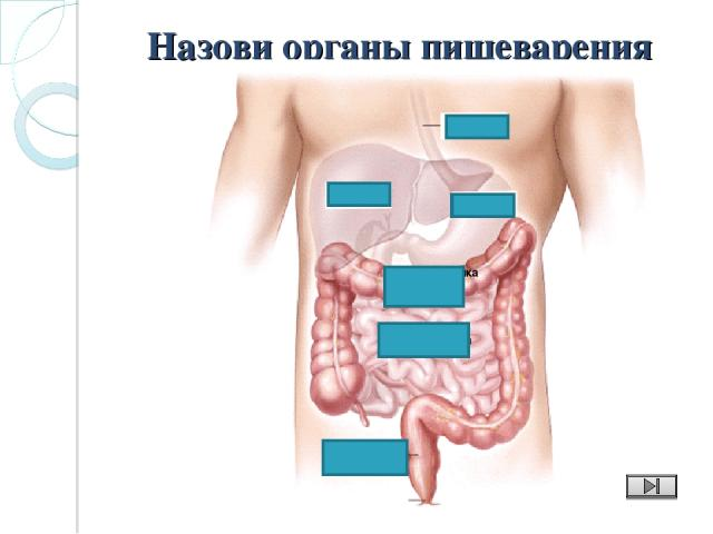 Назови органы пищеварения пищевод желудок печень Толстая кишка (поперечная ободочная) Тонкая кишка Прямая кишка