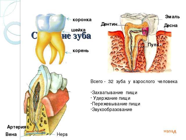 Строение зуба коронка шейка корень Дентин Эмаль Пульпа Десна Артерия Вена Нерв Всего - 32 зуба у взрослого человека Захватывание пищи Удержание пищи Пережевывание пищи Звукообразование