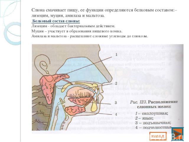 Слюна смачивает пищу, ее функции определяются белковым составом:– лизоцим, муцин, амилаза и мальтоза. Белковый состав слюны: Лизоцим - обладает бактериальным действием. Муцин – участвует в образовании пищевого комка. Амилаза и мальтоза - расщепляют …