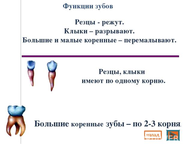 Функции зубов Резцы - режут. Клыки – разрывают. Большие и малые коренные – перемалывают. Резцы, клыки имеют по одному корню. Большие коренные зубы – по 2-3 корня.