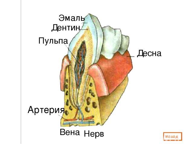 Десна Нерв Вена Артерия Эмаль Дентин Пульпа