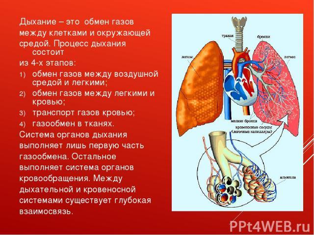 Дыхание – это обмен газов между клетками и окружающей средой. Процесс дыхания состоит из 4-х этапов: обмен газов между воздушной средой и легкими; обмен газов между легкими и кровью; транспорт газов кровью; газообмен в тканях. Система органов дыхани…