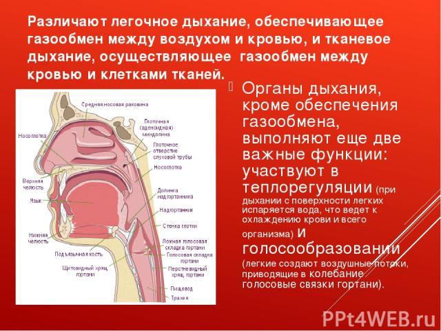 Различают легочное дыхание, обеспечивающее газообмен между воздухом и кровью, и тканевое дыхание, осуществляющее газообмен между кровью и клетками тканей. Органы дыхания, кроме обеспечения газообмена, выполняют еще две важные функции: участвуют в те…