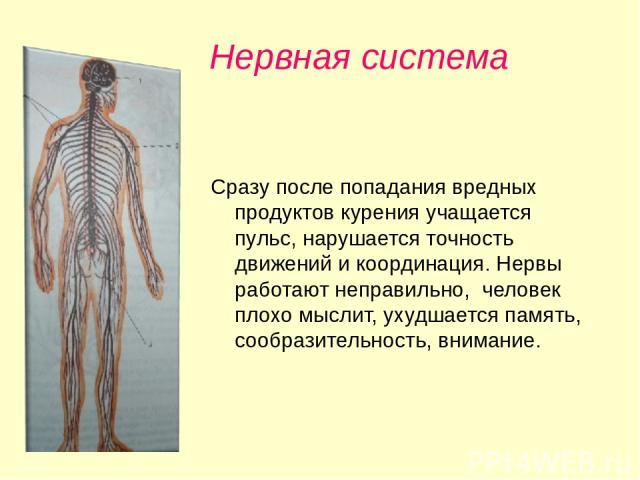 Нервная система Сразу после попадания вредных продуктов курения учащается пульс, нарушается точность движений и координация. Нервы работают неправильно, человек плохо мыслит, ухудшается память, сообразительность, внимание.
